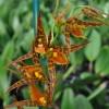 Agdm. Tarantula 'Sweet Orange'