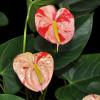 Shibori Anthurium Plant (Medium)