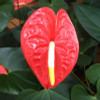 Orange Anthurium