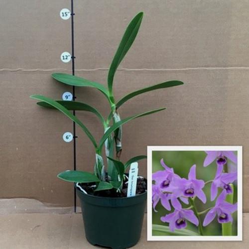 Gur. bowringiana (Plant Only)