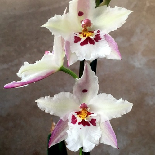 Vuyl. Fall in Love 'White Fairy'