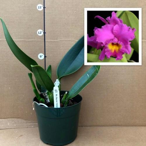 Rlc. Sayoko 'Volcano Queen' (Plant Only)