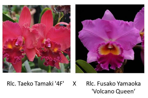 Rlc. Taeko Tamaki '4F' x Rlc. Fusako Yamaoka 'VQ' (Plant Only)
