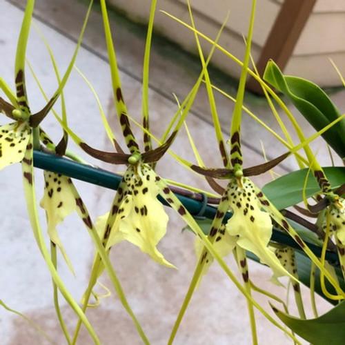 Brs. Spider's Gold 'Prolific'