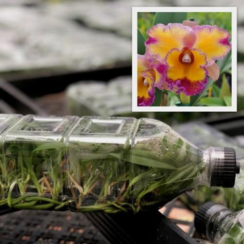 Rlc. Dick Smith 'Paradise' FLASK (Cattleya Clone)