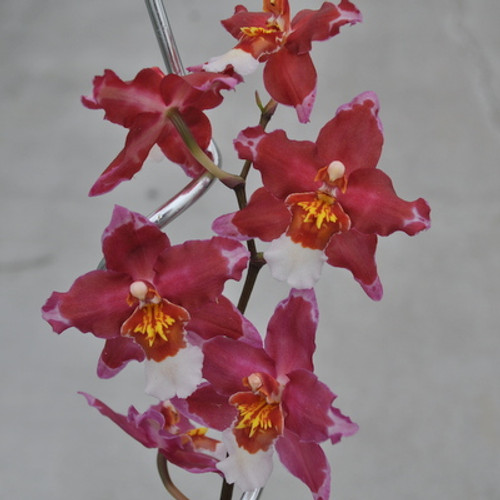 Wils. Martian Leather 'Berrylicious'