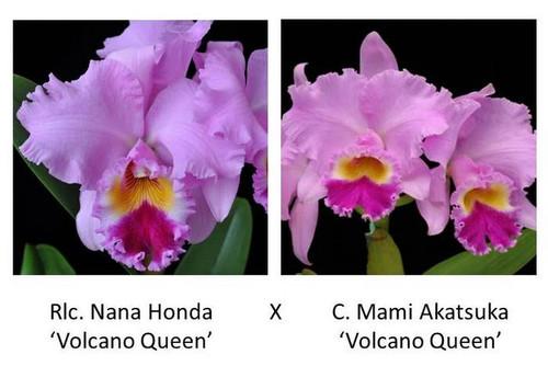 Rlc. Nana Honda 'Volcano Queen'x C. Mami Akatsuka 'Volcano Queen'