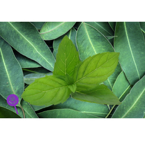 Eucalyptus Mint-SC-WF