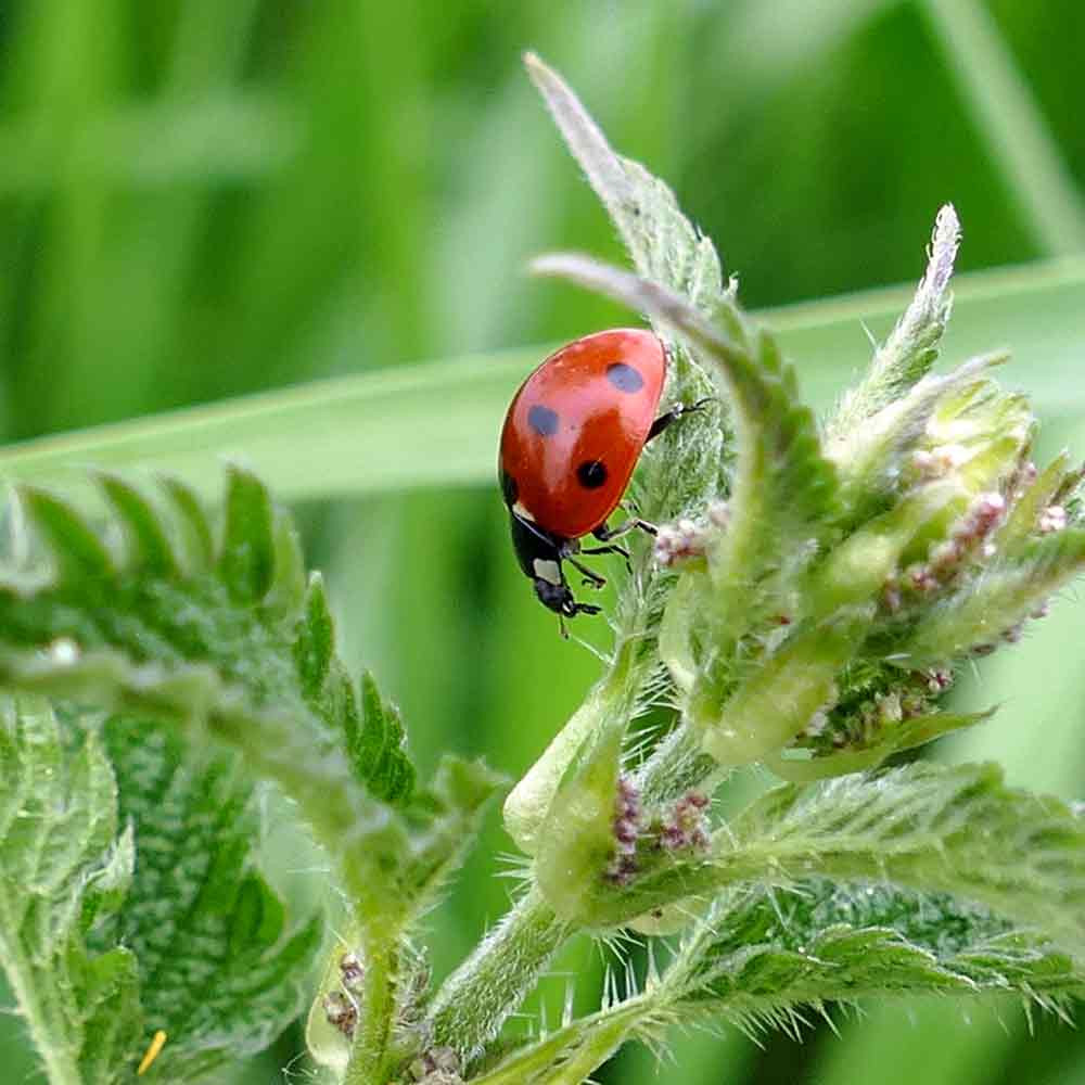 Stinging Nettle  Seeds - (Urtica dioica)