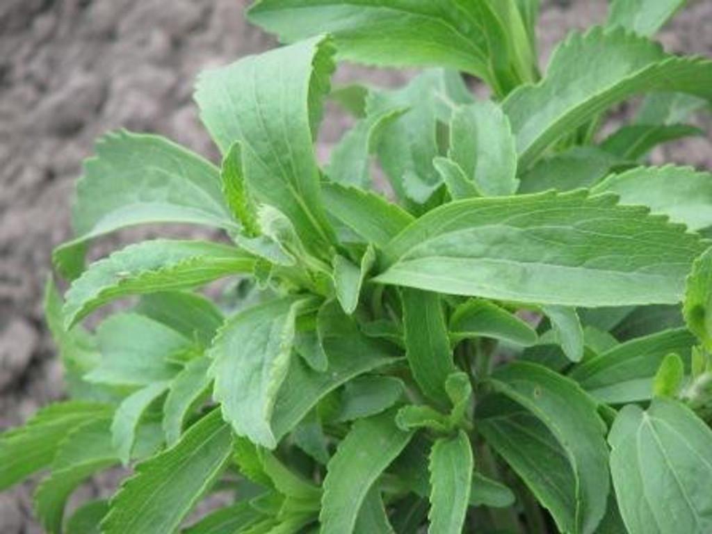 stevia sweet herb seeds terroir seeds. Black Bedroom Furniture Sets. Home Design Ideas