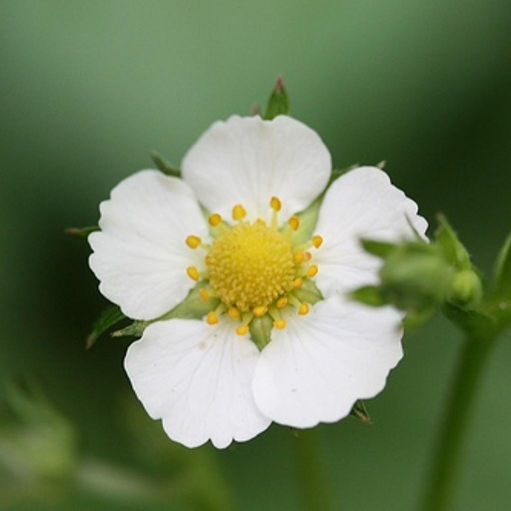 Alpine Strawberry 'White Soul'