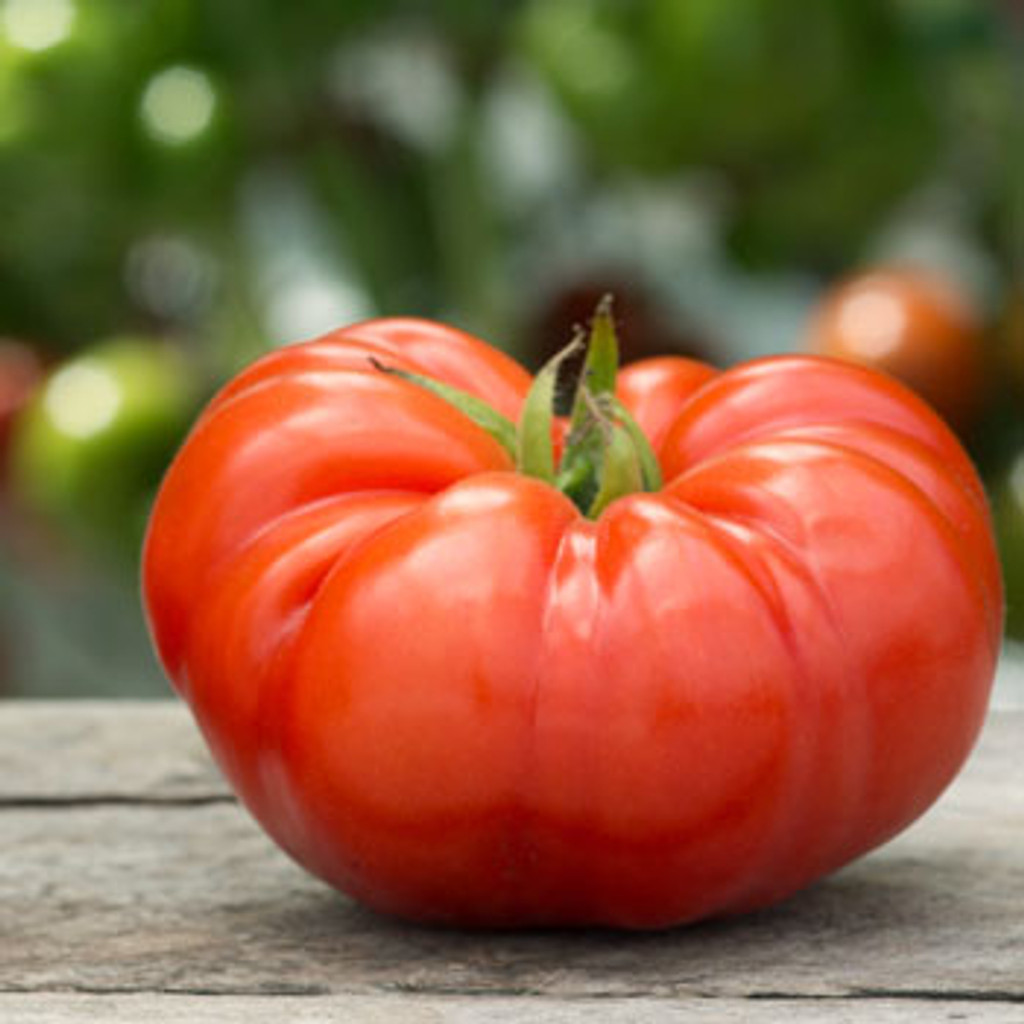 Cuostralee Tomato - (Lycopersicon lycopersicum)