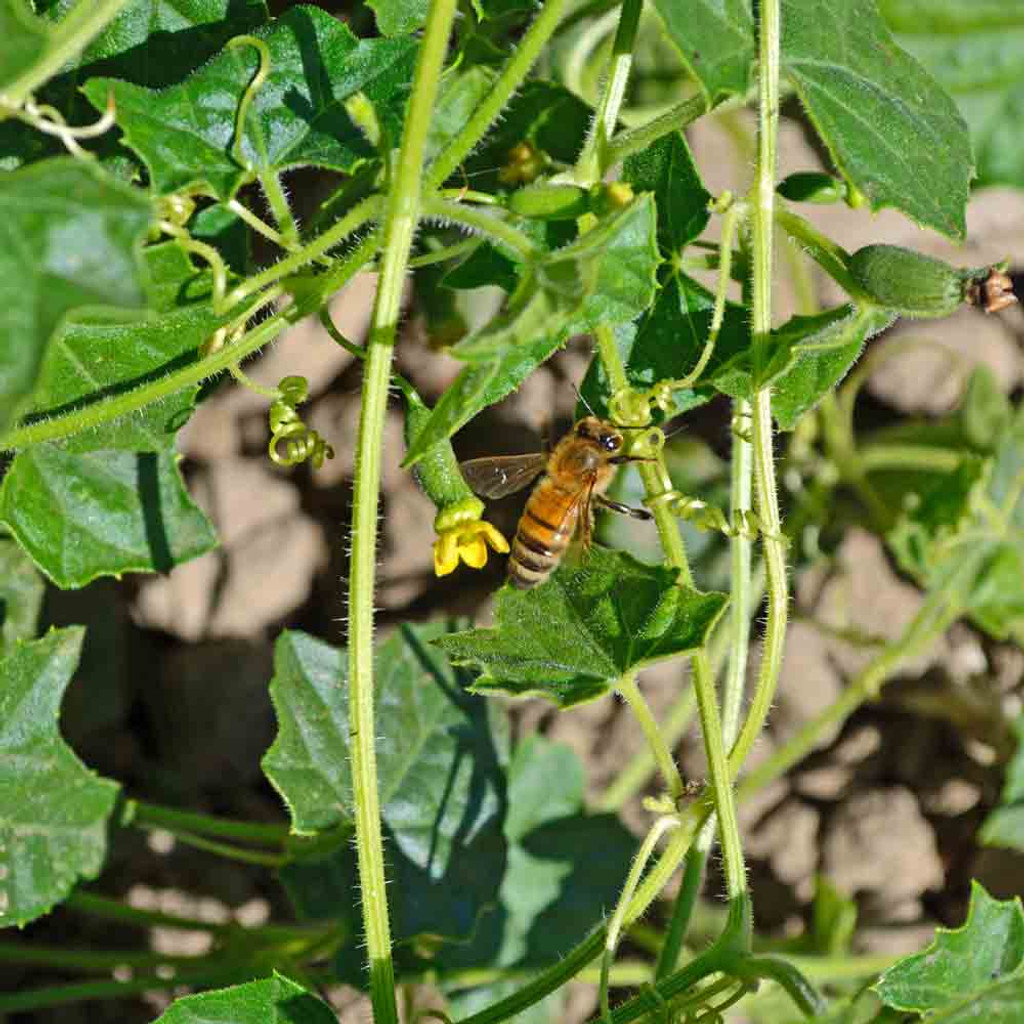 Cucamelon / Mouse Melon with Bee - (Melothria scabra)