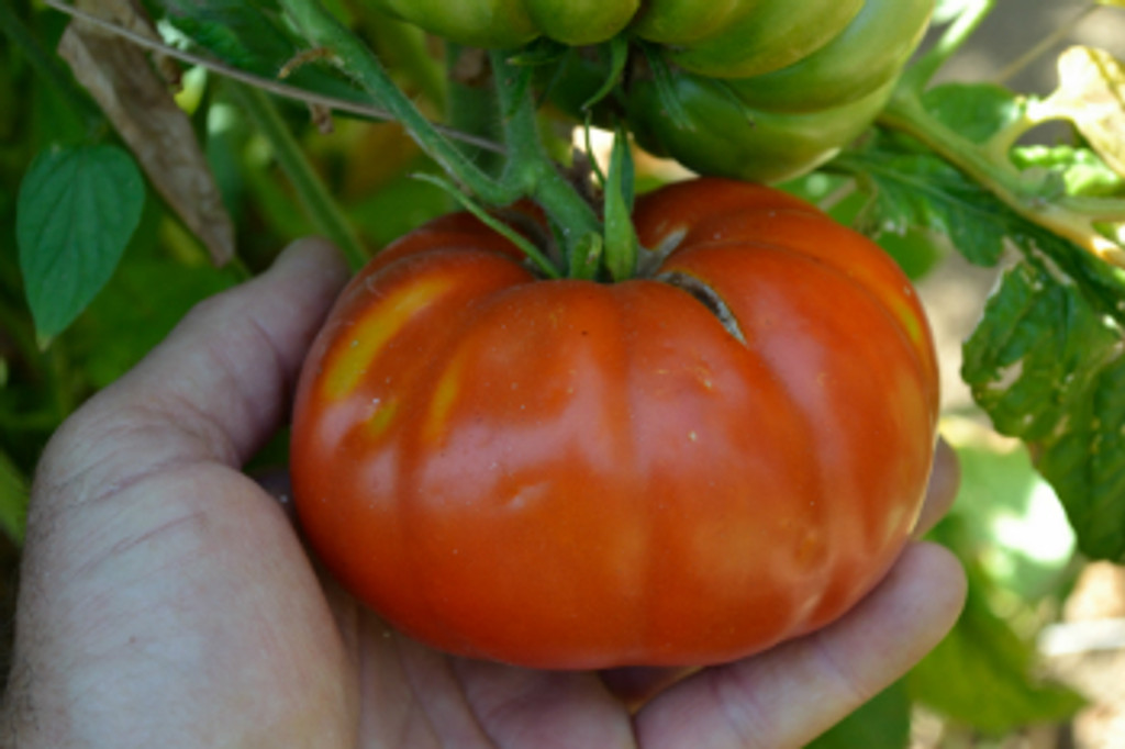 Classic Vegetable Seed Collection - Red Brandywine Tomato