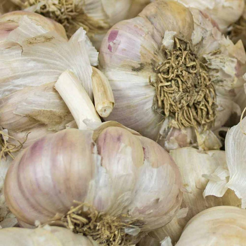 Organic Amish Garlic Heads - (Allium sativum)