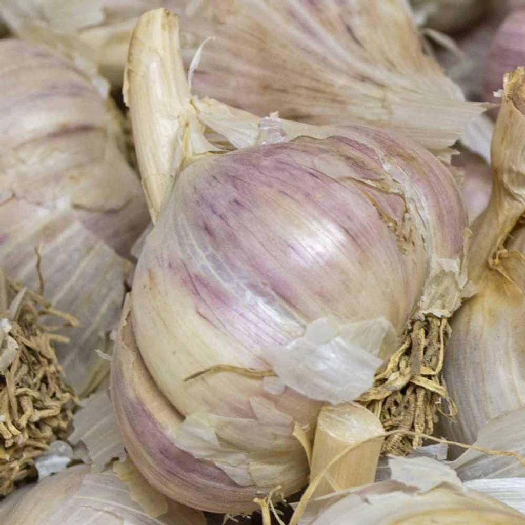 Organic German White Garlic bulbs- (Allium sativum)