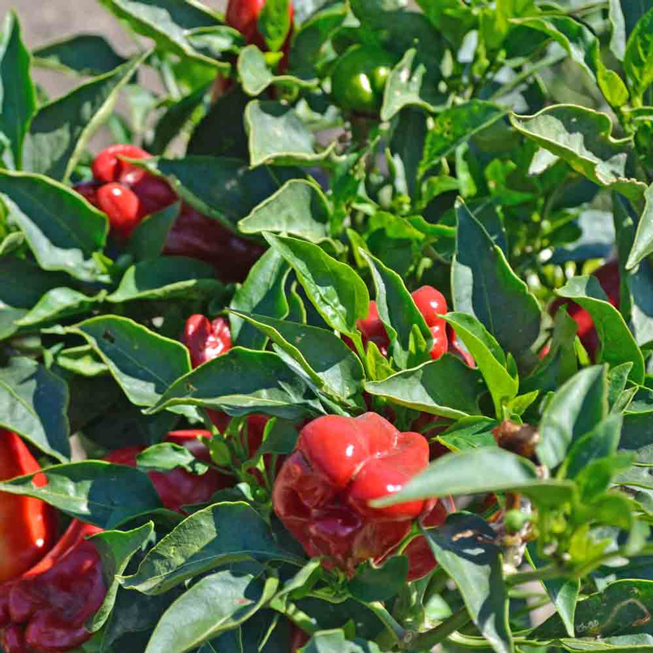 Melrose Plant
