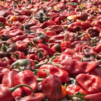Chilhuacle Rojo Hot Pepper Seeds - (Capsicum Annuum)
