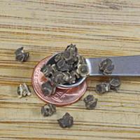 Barese Swiss Chard Seeds - (Beta vulgaris var. cicla)