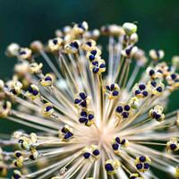 American Flag /Giant Musselburg Leek Seeds - (Allium ampeloprasum)