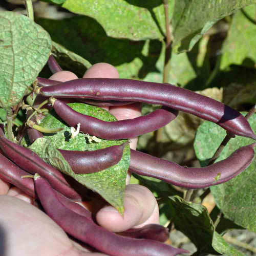 Red Swan Bean - (Phaseolus vulgaris)
