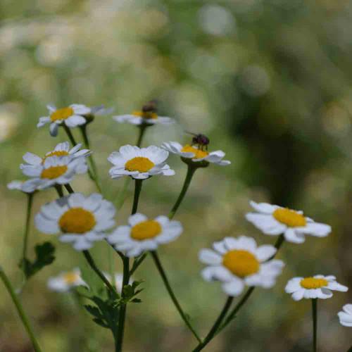 Feverfew - (Chrysanthemum parthenium)