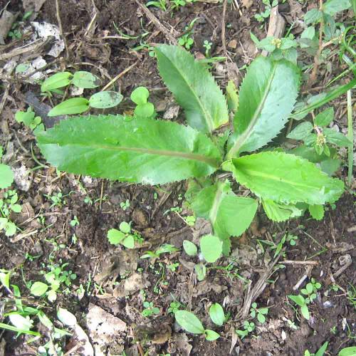 Culantro - (Eryngium foetidum)