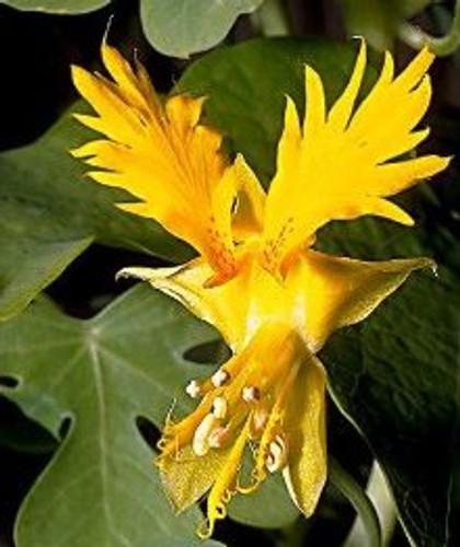 Canary Bird Vine Nasturtium - (Tropaeolum peregrinum)