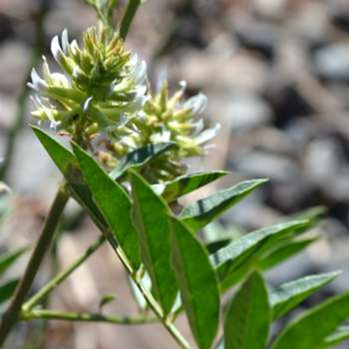 Licorice - (Glycyrrhiza glabra)