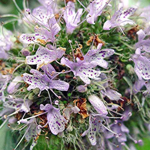 Cherokee Sweet Mint/Hoary Mountainmint Flowers - (Pycnanthemum incanum)