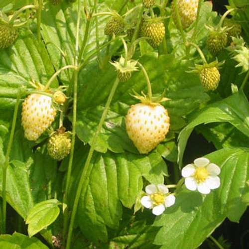 Alpine Strawberry 'White Soul'