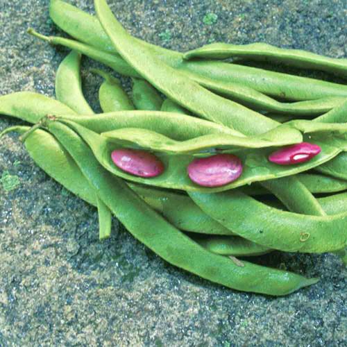 Black Runner Bean - (Phaseolus coccineus)