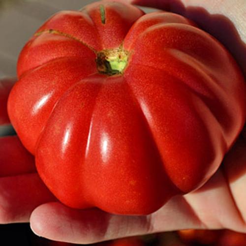 Zapotec Ribbed Tomato - (Lycopersicon lycopersicum)