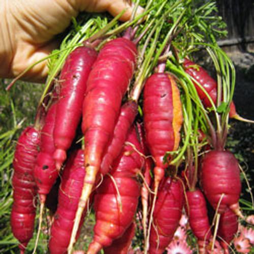 Cosmic Purple Carrot - (Daucus carota var. sativus)