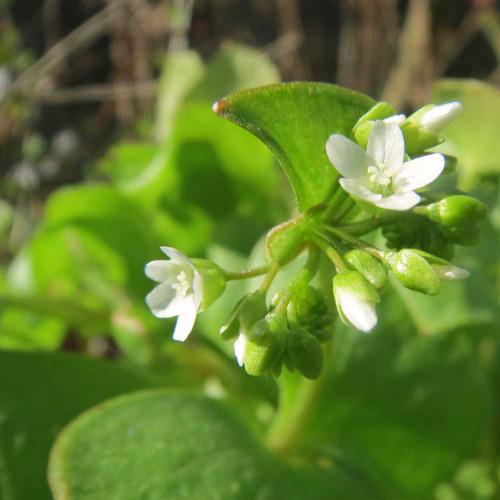 Miner's Lettuce - (Claytonia perfoliata)