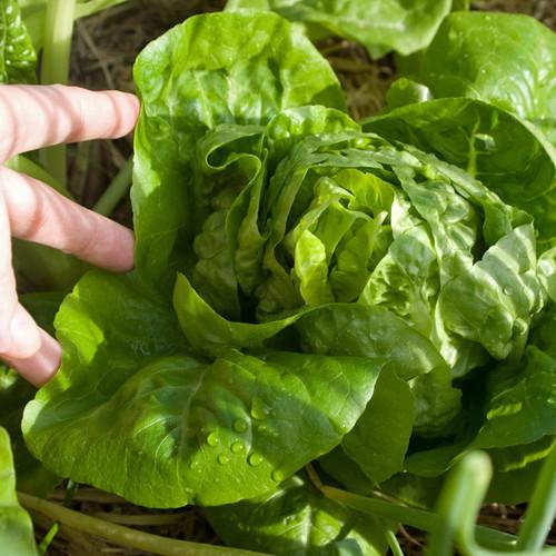 Little Gem Lettuce - (Lactuca sativa)