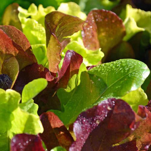 Mini Greens Lettuce Seed Mix