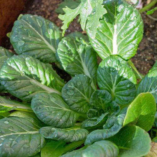 Tatsoi Mustard - (Brassica rapa)