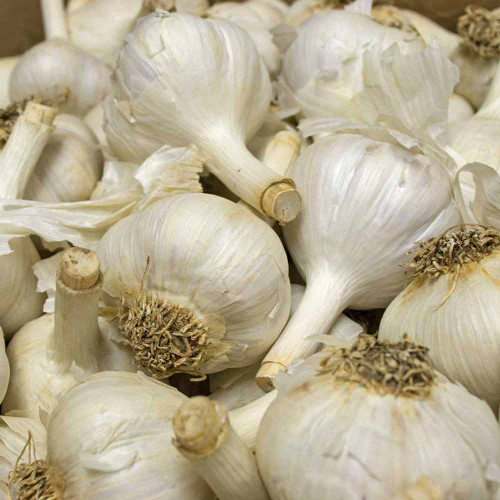 Music Garlic - (Allium sativum)