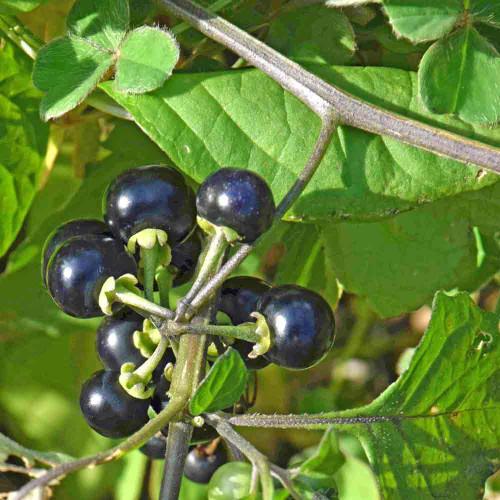 Garden Huckleberry Seeds | Terroir Seeds