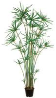 6ft Cypress Grass Tree in Plastic Pot