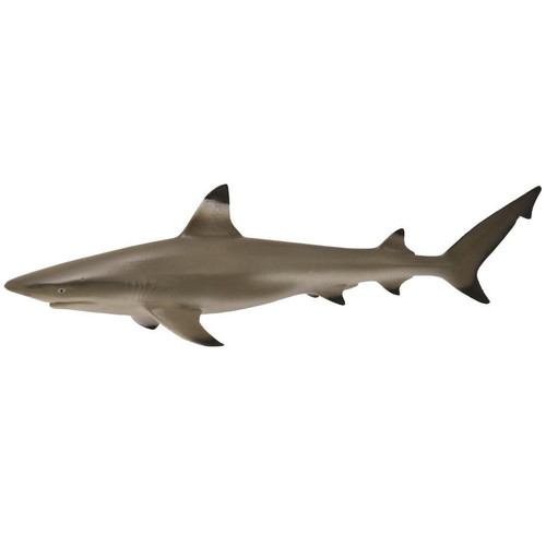 Blacktip Reef Shark 2015