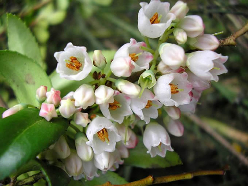 By Christine Majul - Huckleberry Flowers in A bunch, https://www.flickr.com/photos/kitkaphotogirl/, https://creativecommons.org/licenses/by-sa/2.0/