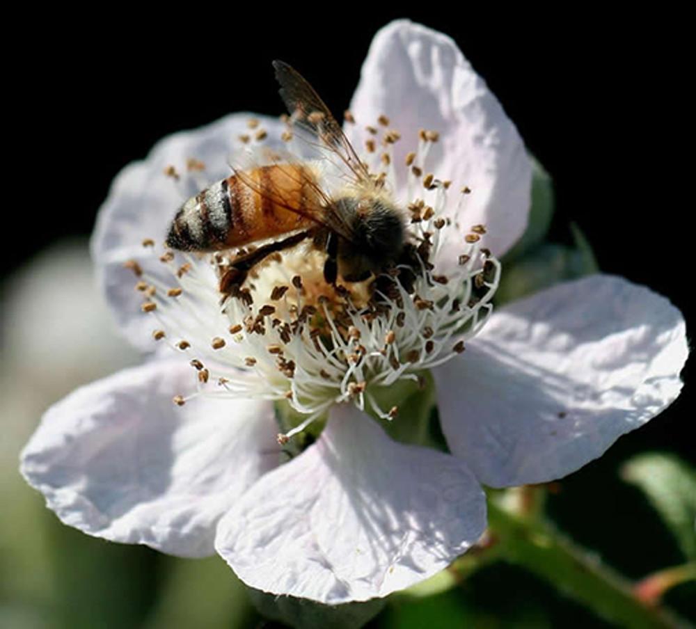 By Scott Wilson - Rubus ursinus (California blackberry)_8202, https://www.flickr.com/photos/scott361/, https://creativecommons.org/licenses/by-sa/2.0/