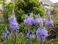 By F. D. Richards - Camassia 2012, https://www.flickr.com/photos/50697352@N00/, https://creativecommons.org/licenses/by-sa/2.0/