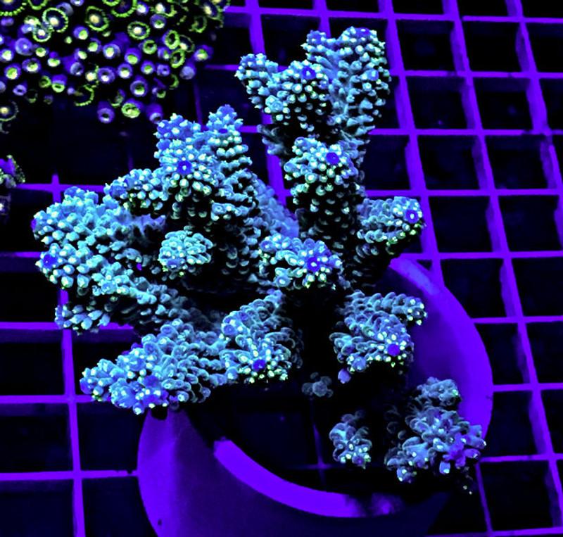 Australian Acropora Ultra Color Coral Full Colony