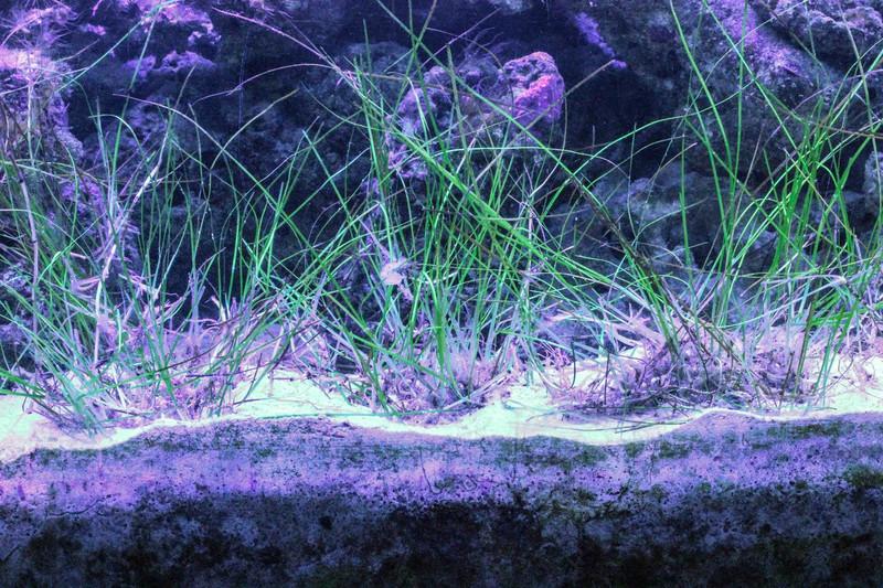 Sea Grass Aquarium Reef Tank Copepod Amphipod habitat Live saltwater Marine Plants