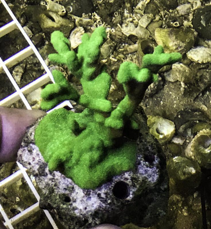 Buy Live Coral Colony Psammacora Contigua Emerald Green 3