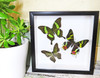 Framed butterflies for sale Australia