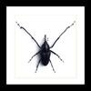 Weevil insect bug beetle Cyrtotrachelus buqueti Bits & Bugs